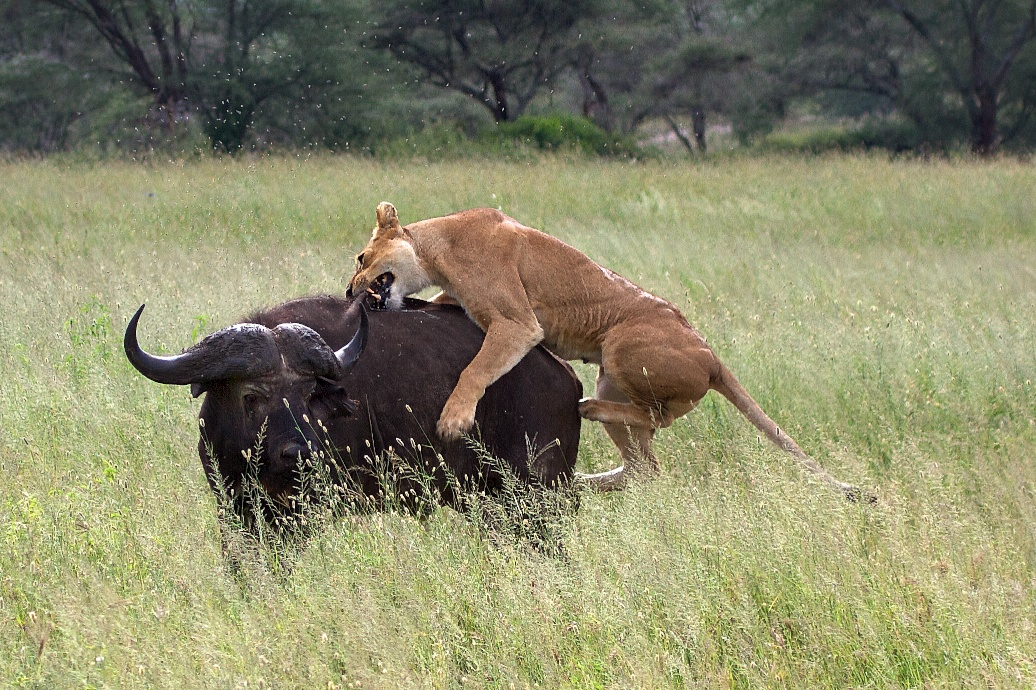 Death in the savanna