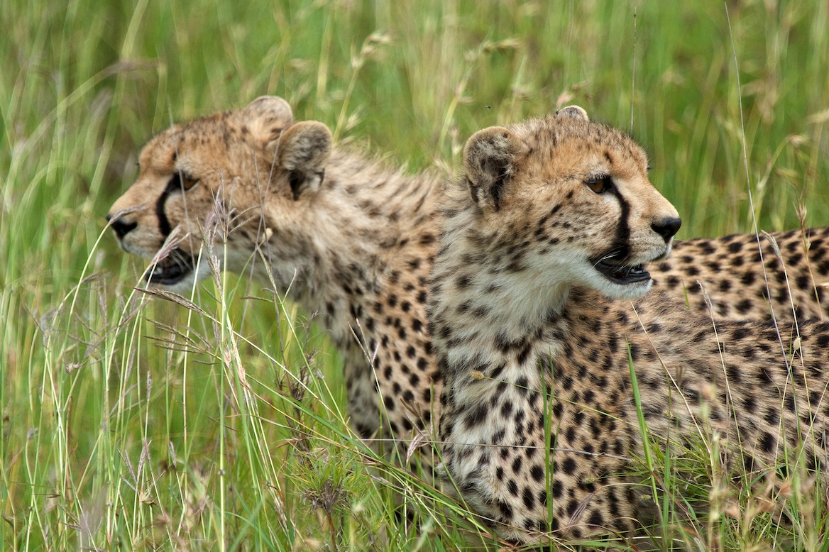 Cheetah brothers;Africa;safari;Serengeti;Tanzania;Travel