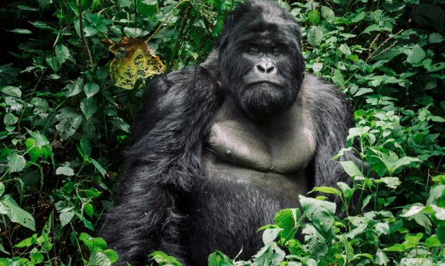 Mountain Gorillas in Virunga