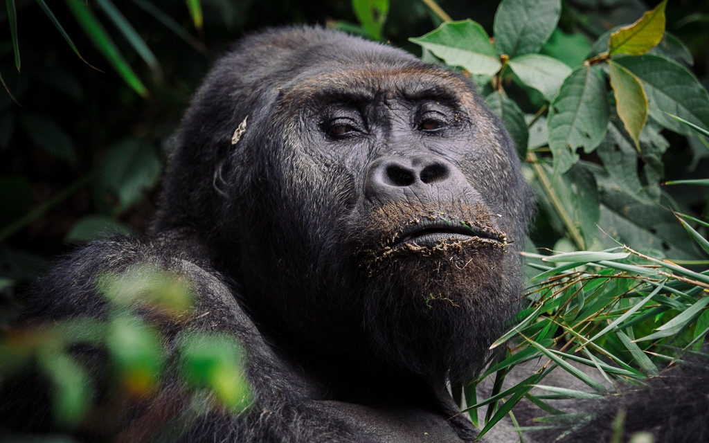 The Lowland Gorillas